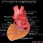 【看護師国家試験】覚えておくべき解剖生理学循環器まとめ